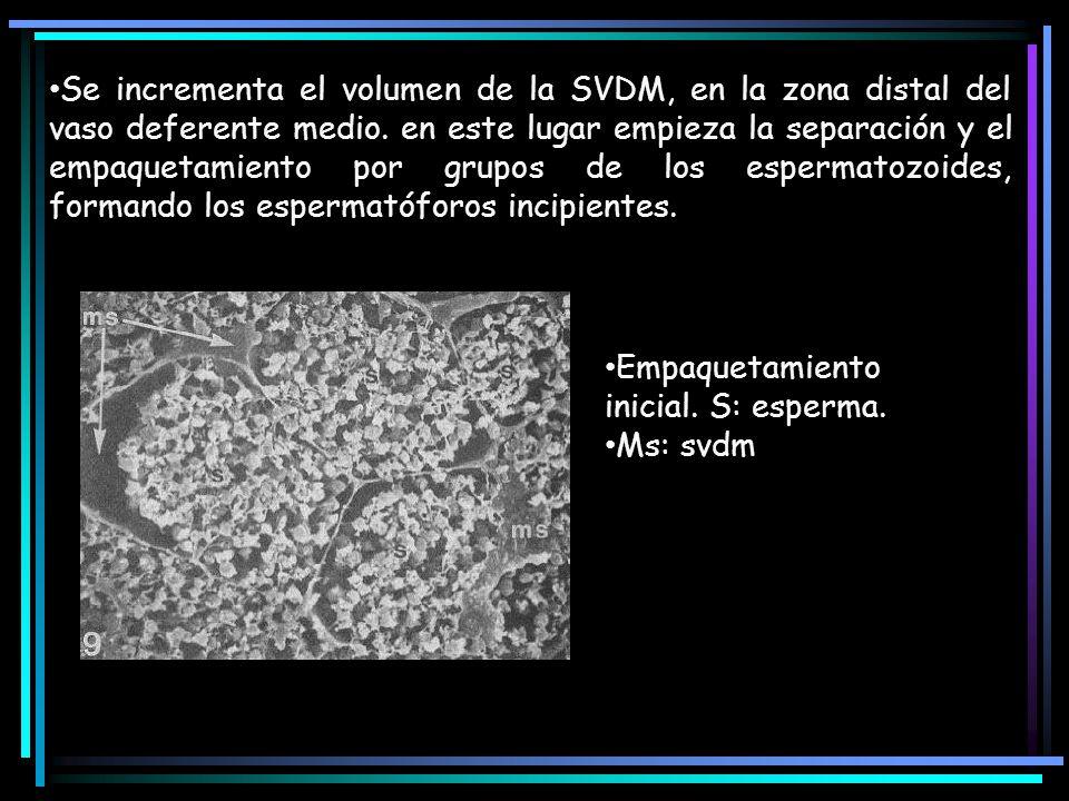 Se incrementa el volumen de la SVDM, en la zona distal del vaso deferente medio. en este lugar empieza la separación y el empaquetamiento por grupos de los espermatozoides, formando los espermatóforos incipientes.
