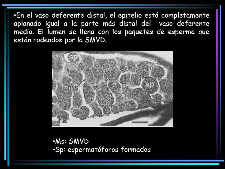 En el vaso deferente distal, el epitelio está completamente aplanado igual a la parte más distal del vaso deferente medio. El lumen se llena con los paquetes de esperma que están rodeados por la SMVD.