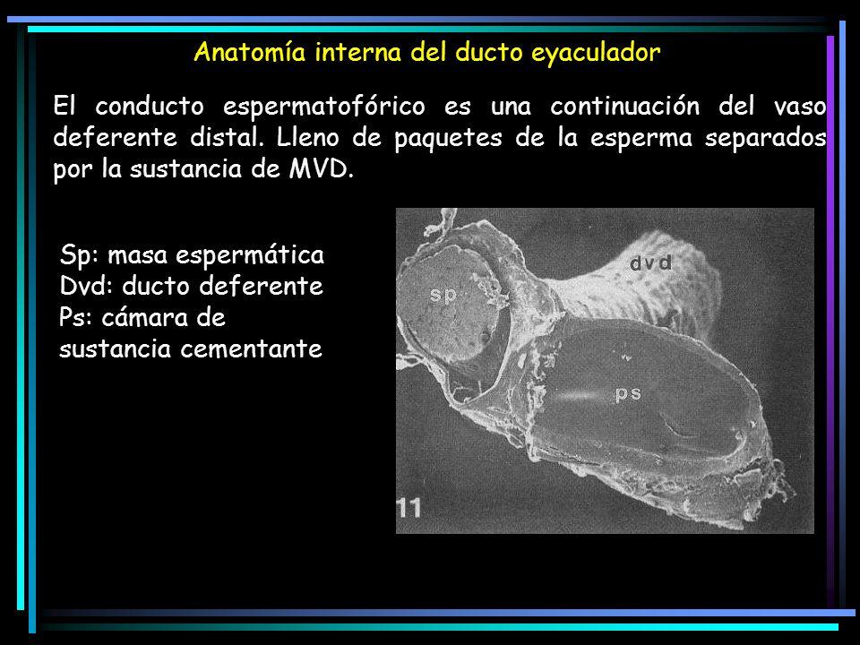 Anatomía interna del ducto eyaculador