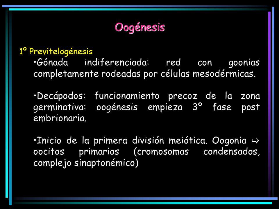 Oogénesis 1º Previtelogénesis. Gónada indiferenciada: red con goonias completamente rodeadas por células mesodérmicas.