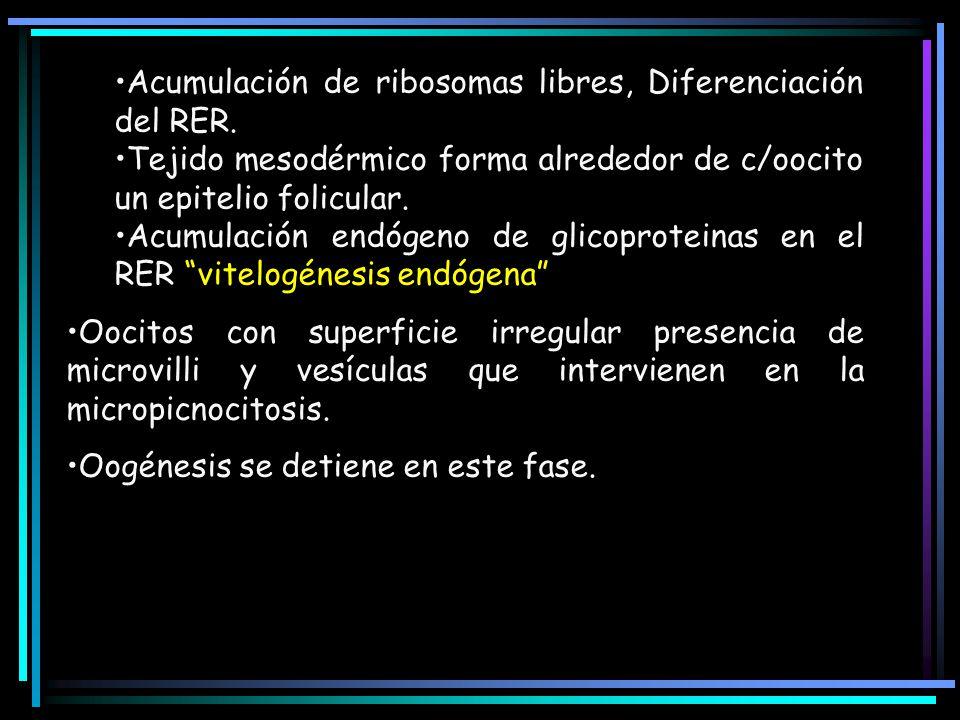 Acumulación de ribosomas libres, Diferenciación del RER.