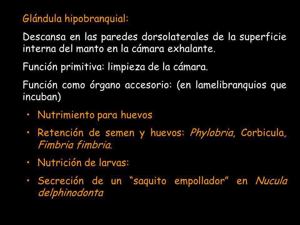 Glándula hipobranquial: