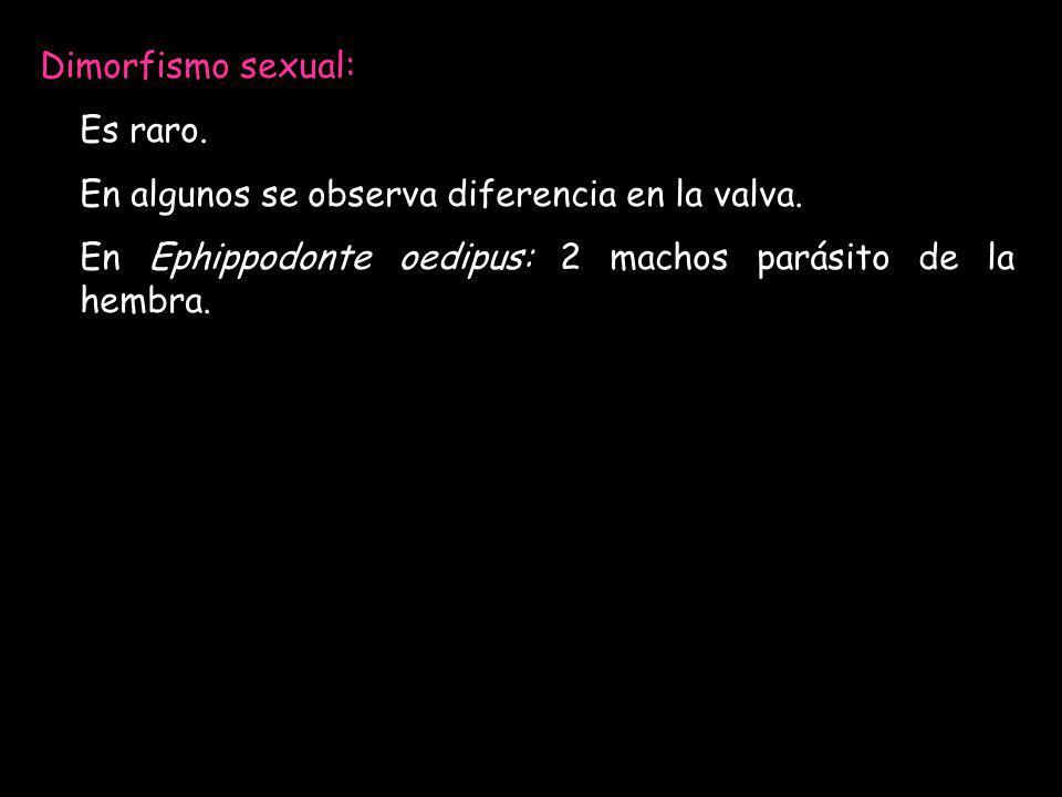 Dimorfismo sexual: Es raro. En algunos se observa diferencia en la valva.
