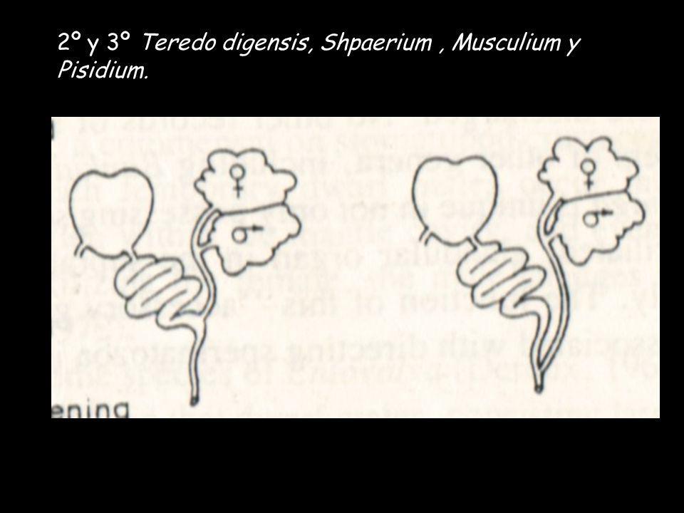 2º y 3º Teredo digensis, Shpaerium , Musculium y Pisidium.