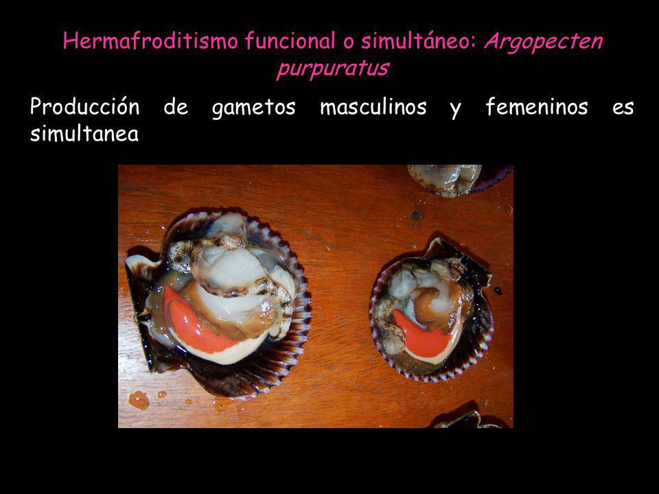 Hermafroditismo funcional o simultáneo: Argopecten purpuratus