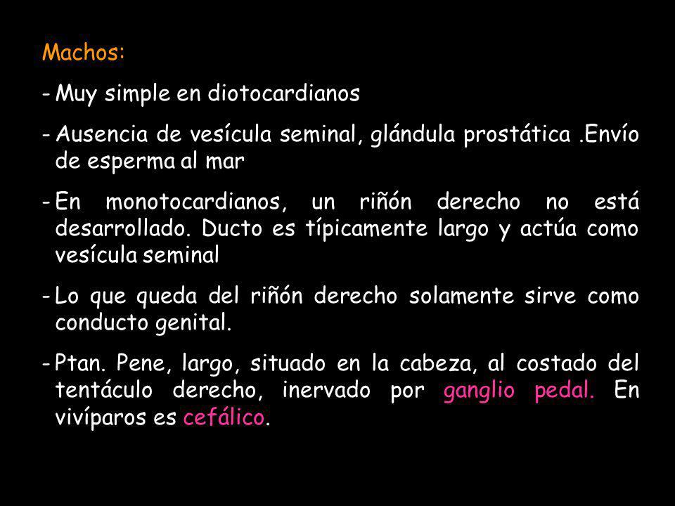Machos: Muy simple en diotocardianos. Ausencia de vesícula seminal, glándula prostática .Envío de esperma al mar.