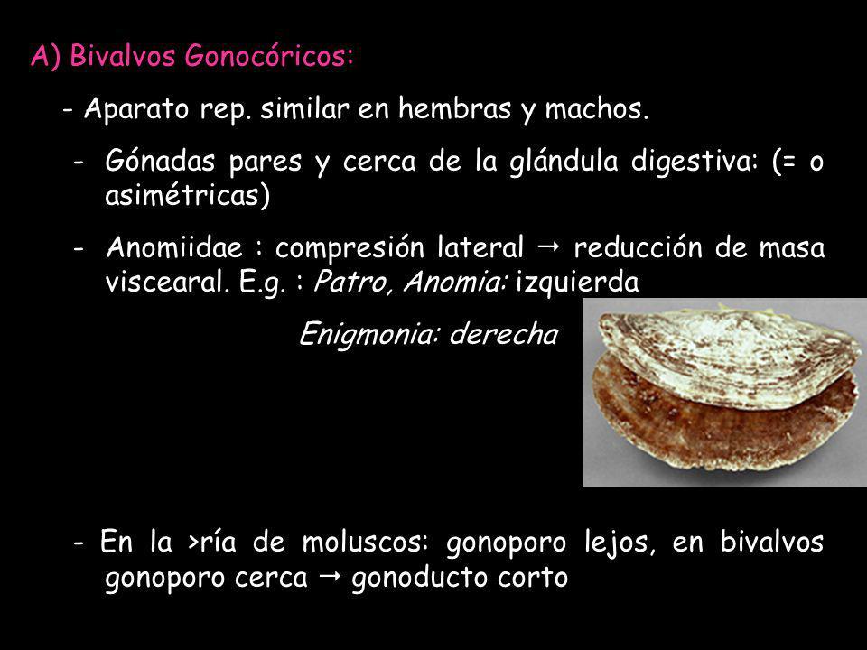 A) Bivalvos Gonocóricos: