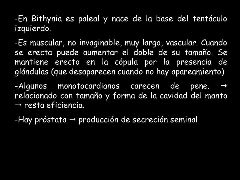 En Bithynia es paleal y nace de la base del tentáculo izquierdo.