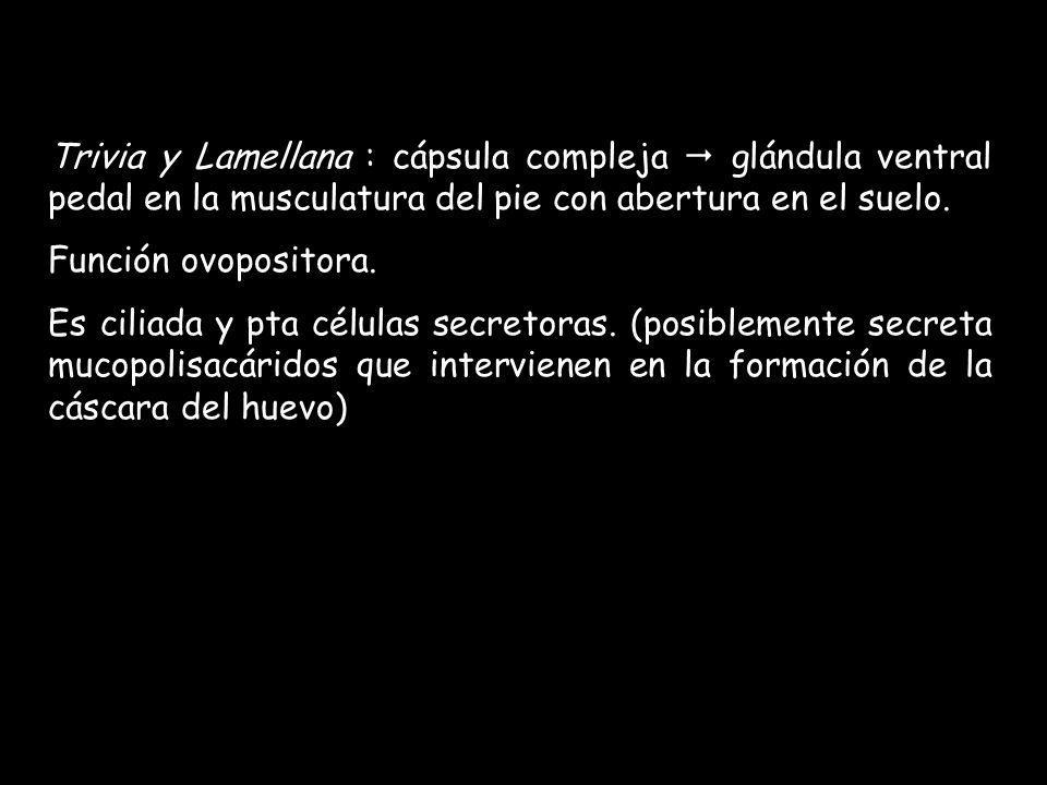 Trivia y Lamellana : cápsula compleja  glándula ventral pedal en la musculatura del pie con abertura en el suelo.