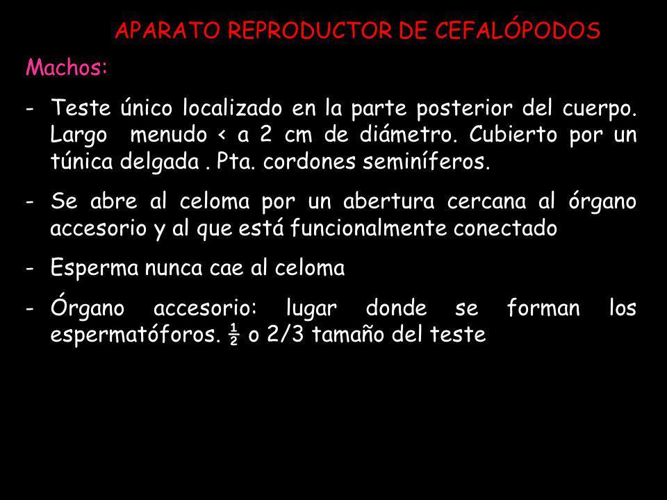 APARATO REPRODUCTOR DE CEFALÓPODOS