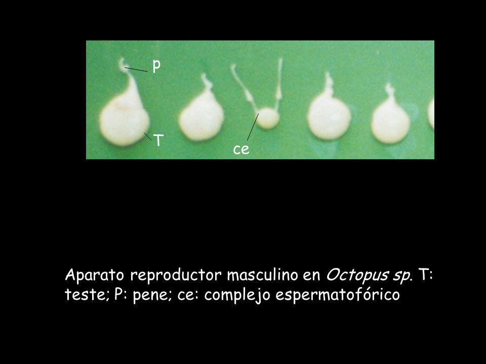 p T ce Aparato reproductor masculino en Octopus sp. T: teste; P: pene; ce: complejo espermatofórico