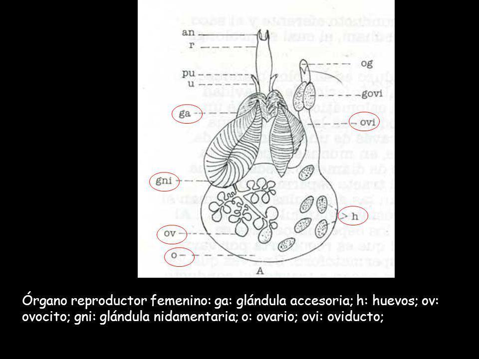 Órgano reproductor femenino: ga: glándula accesoria; h: huevos; ov: ovocito; gni: glándula nidamentaria; o: ovario; ovi: oviducto;