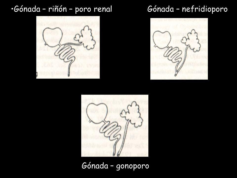 Gónada – riñón – poro renal Gónada – nefridioporo