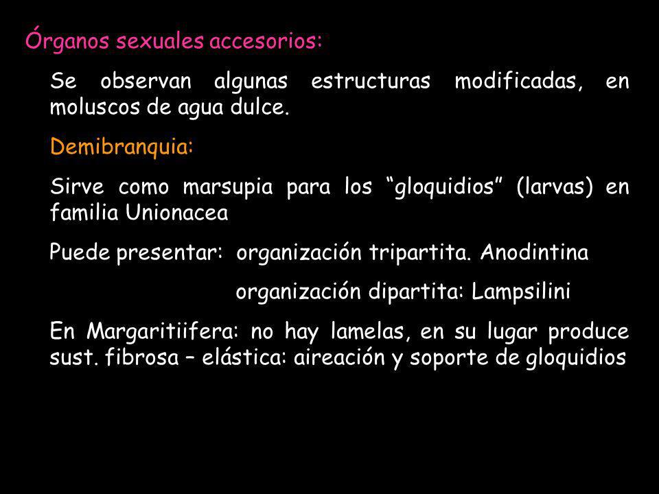 Órganos sexuales accesorios: