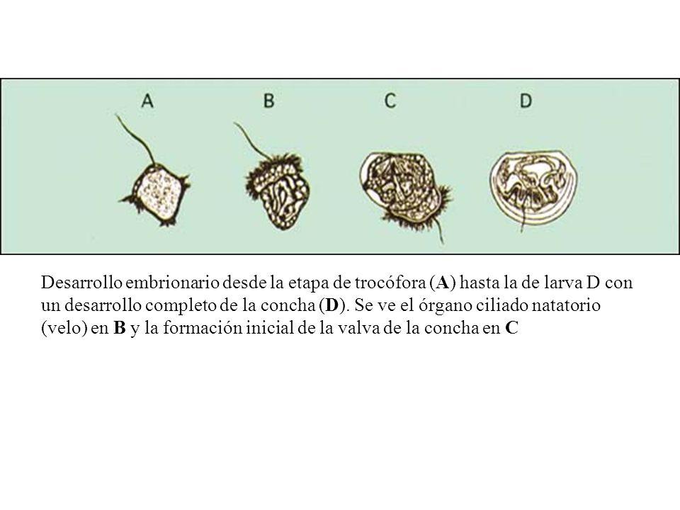 Desarrollo embrionario desde la etapa de trocófora (A) hasta la de larva D con un desarrollo completo de la concha (D).