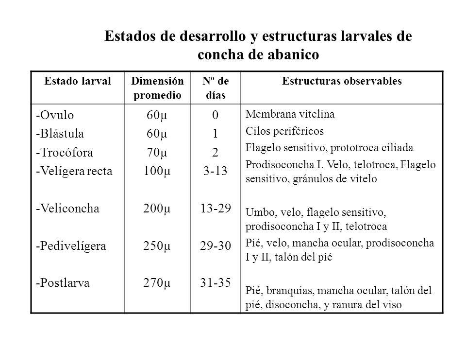 Estados de desarrollo y estructuras larvales de concha de abanico