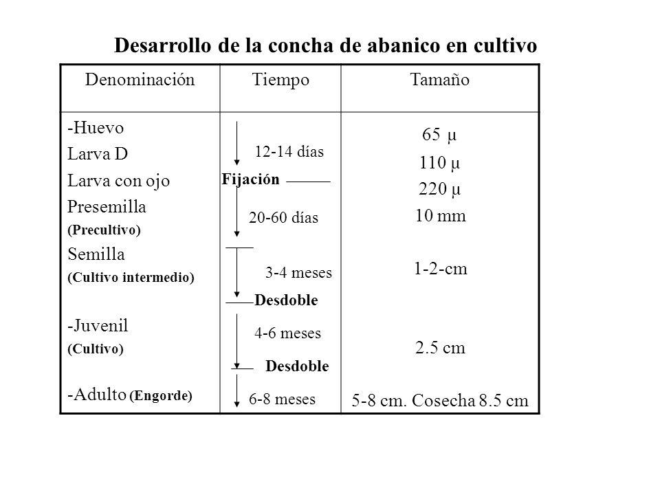 Desarrollo de la concha de abanico en cultivo