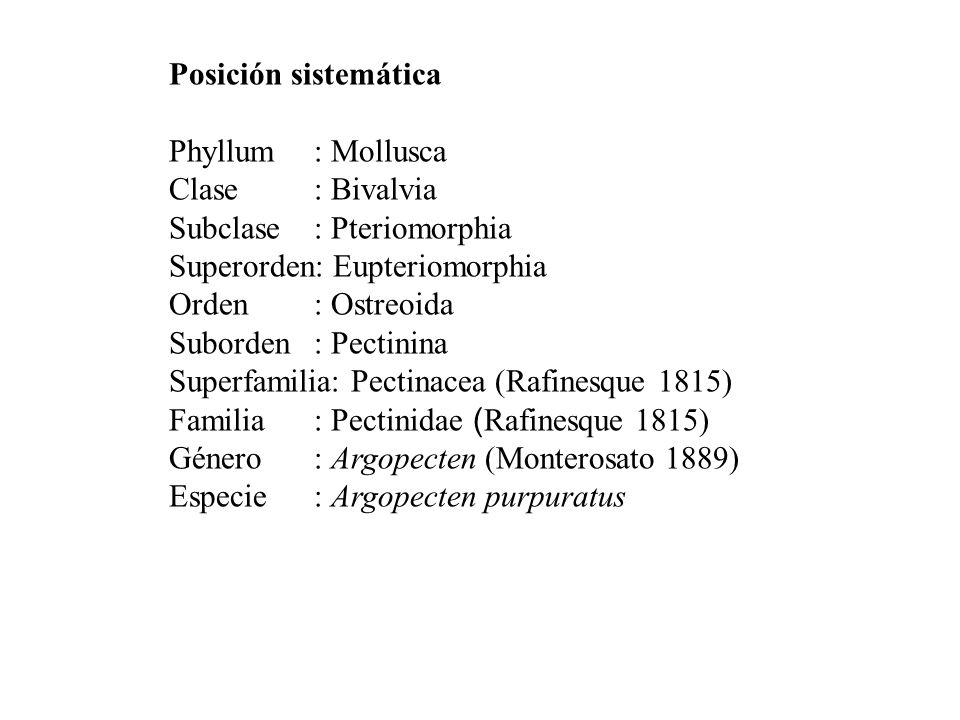 Posición sistemática Phyllum : Mollusca. Clase : Bivalvia. Subclase : Pteriomorphia. Superorden: Eupteriomorphia.
