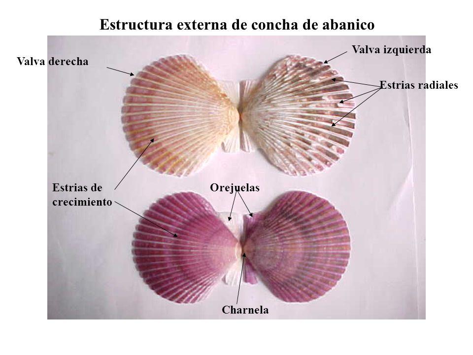 Estructura externa de concha de abanico