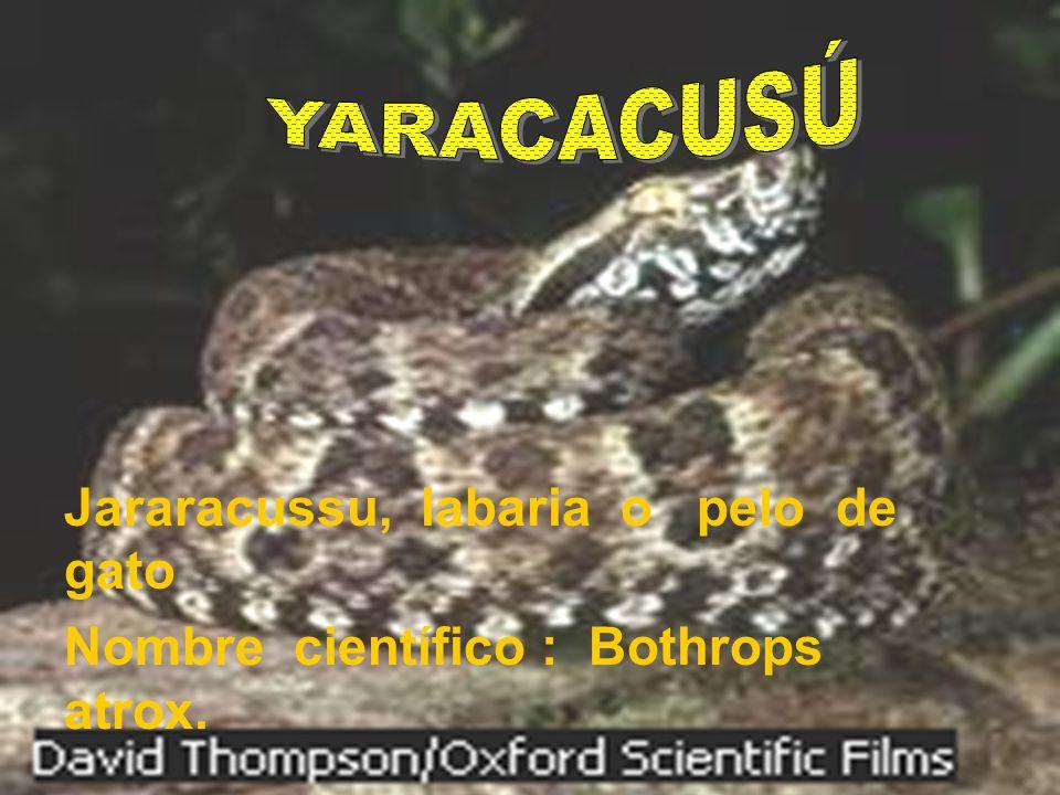 YARACACUSÚ Jararacussu, labaria o pelo de gato Nombre científico : Bothrops atrox.
