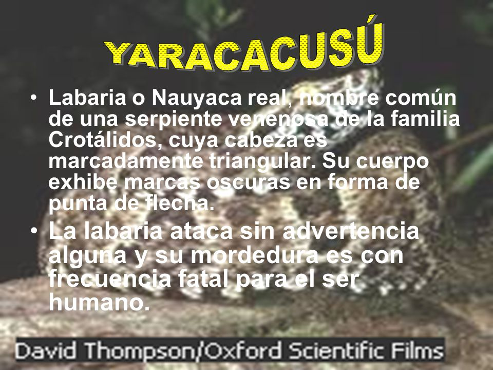 YARACACUSÚ