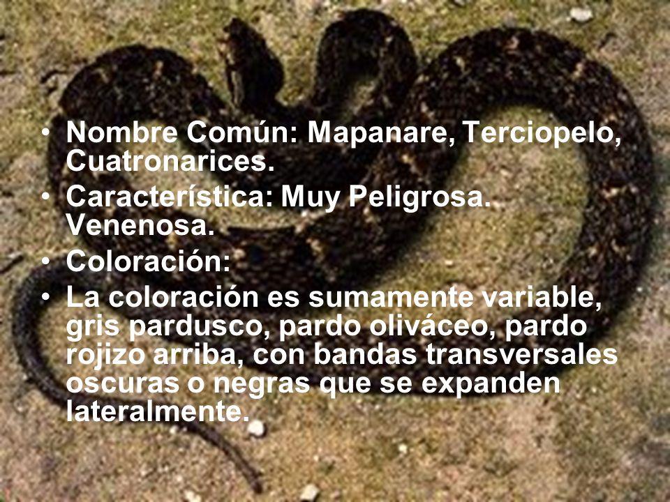 Nombre Común: Mapanare, Terciopelo, Cuatronarices.