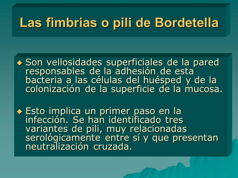 Las fimbrias o pili de Bordetella