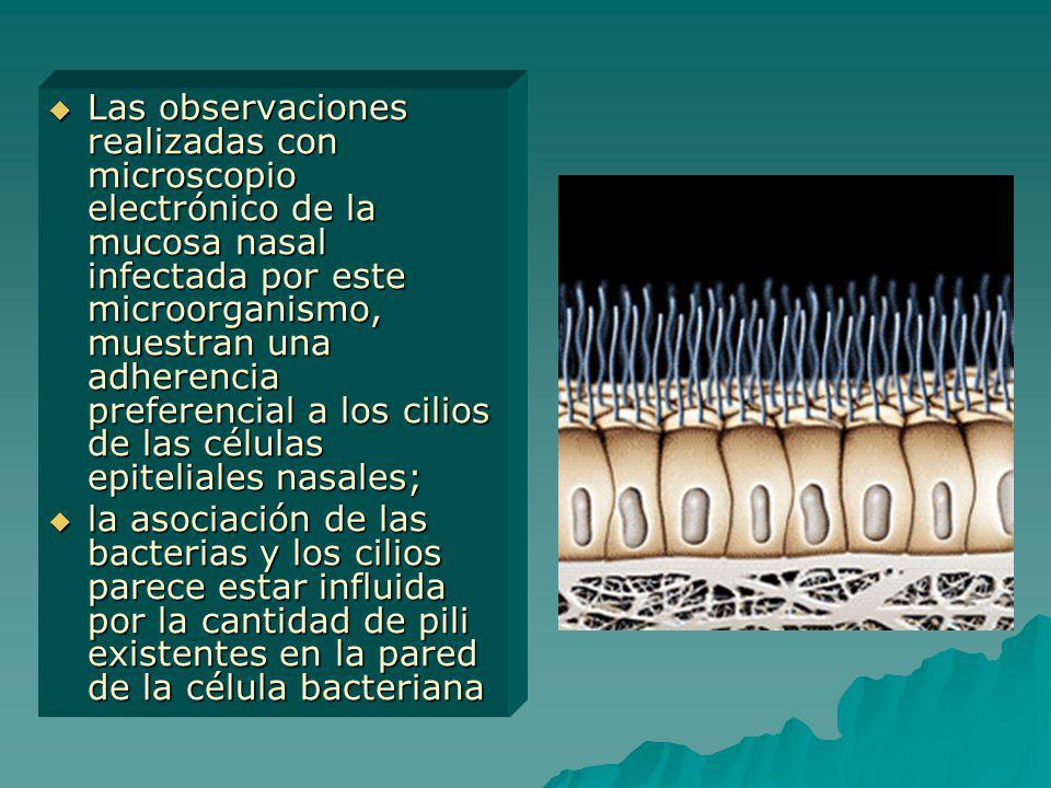 Las observaciones realizadas con microscopio electrónico de la mucosa nasal infectada por este microorganismo, muestran una adherencia preferencial a los cilios de las células epiteliales nasales;
