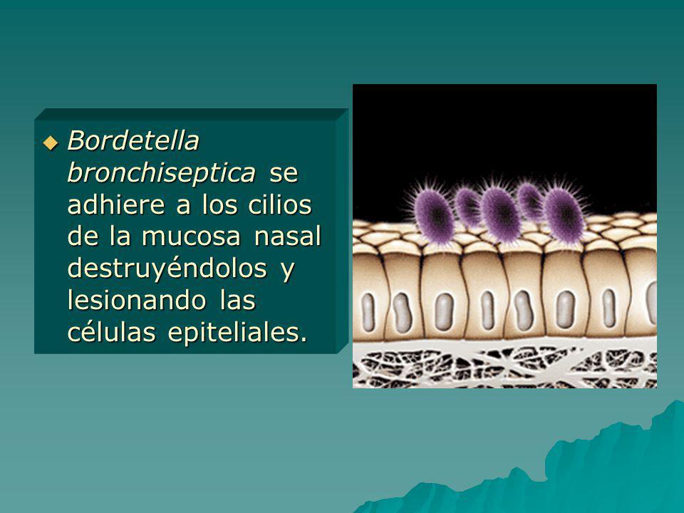 Bordetella bronchiseptica se adhiere a los cilios de la mucosa nasal destruyéndolos y lesionando las células epiteliales.