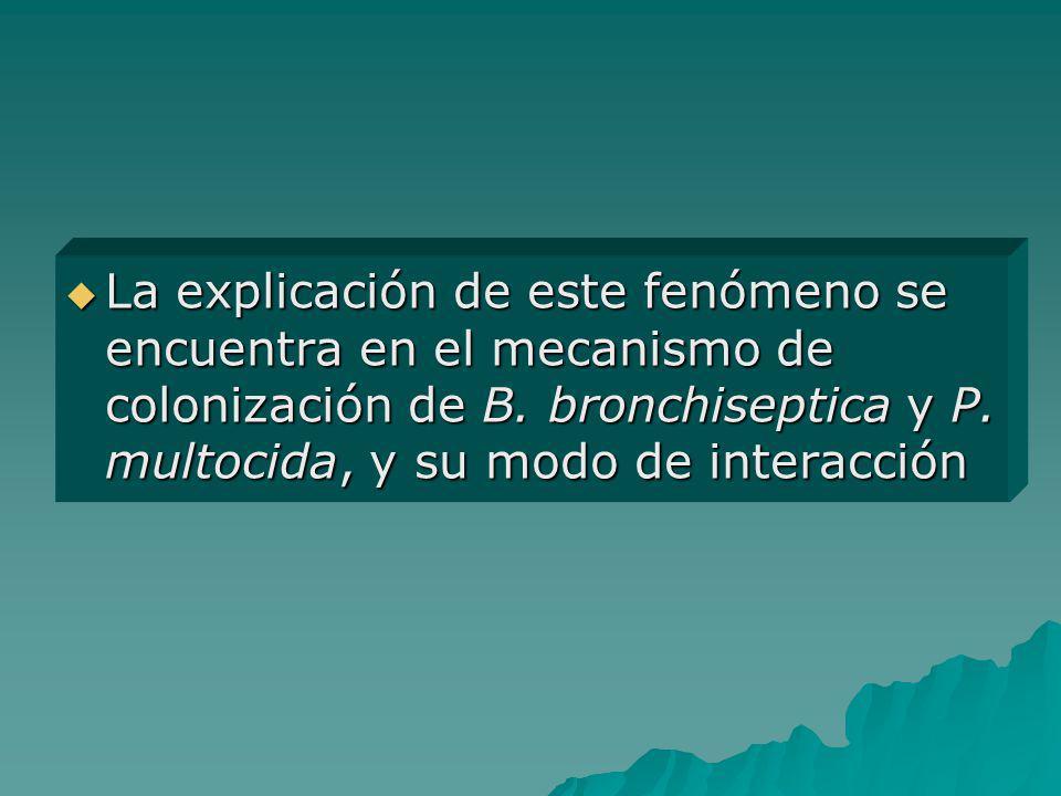 La explicación de este fenómeno se encuentra en el mecanismo de colonización de B.