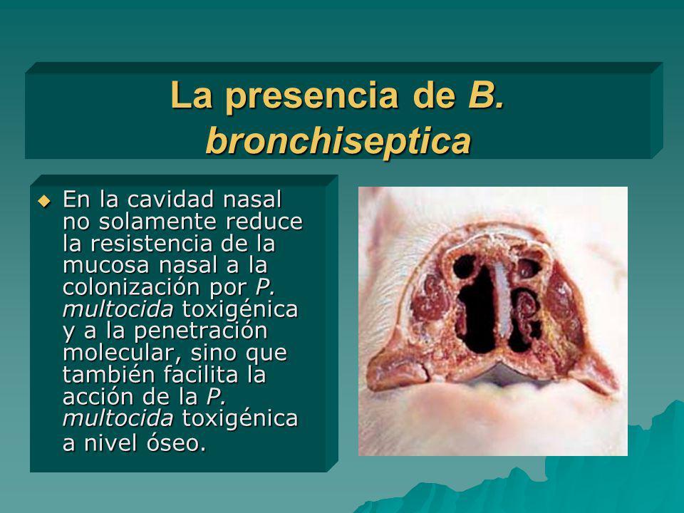 La presencia de B. bronchiseptica