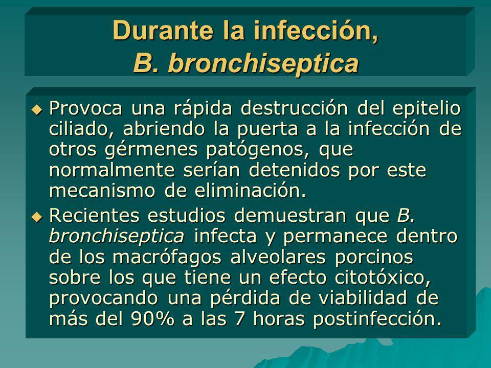 Durante la infección, B. bronchiseptica