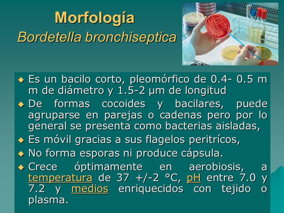 Morfología Bordetella bronchiseptica