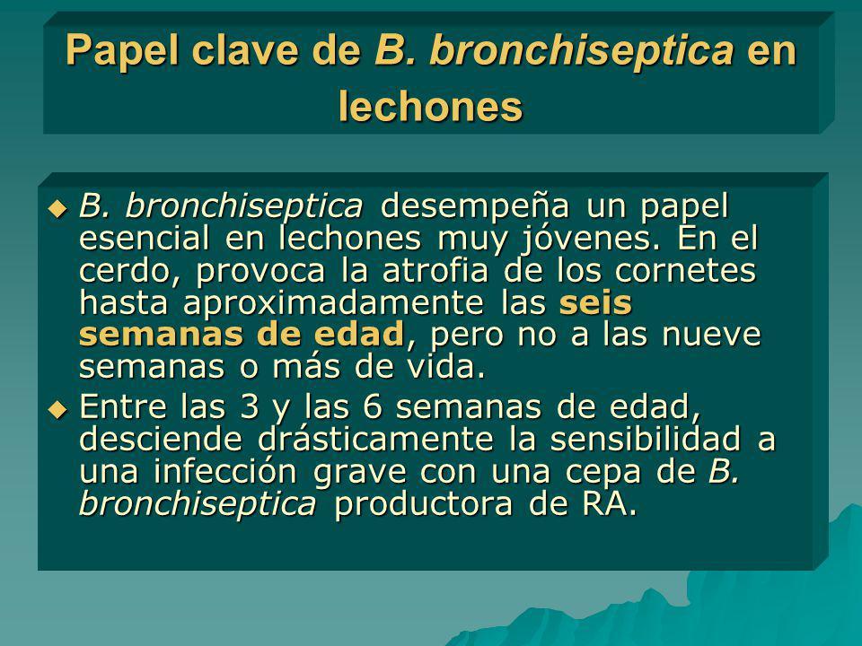 Papel clave de B. bronchiseptica en lechones