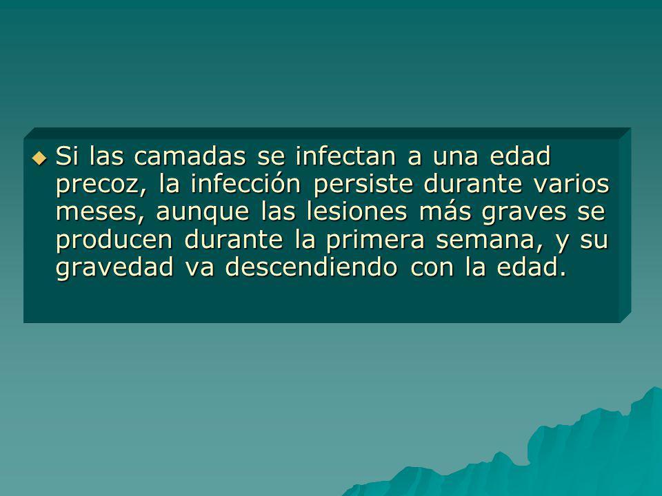 Si las camadas se infectan a una edad precoz, la infección persiste durante varios meses, aunque las lesiones más graves se producen durante la primera semana, y su gravedad va descendiendo con la edad.