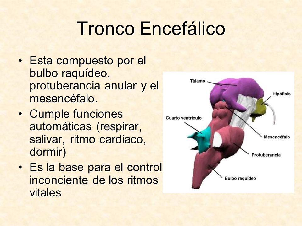 Tronco Encefálico Esta compuesto por el bulbo raquídeo, protuberancia anular y el mesencéfalo.