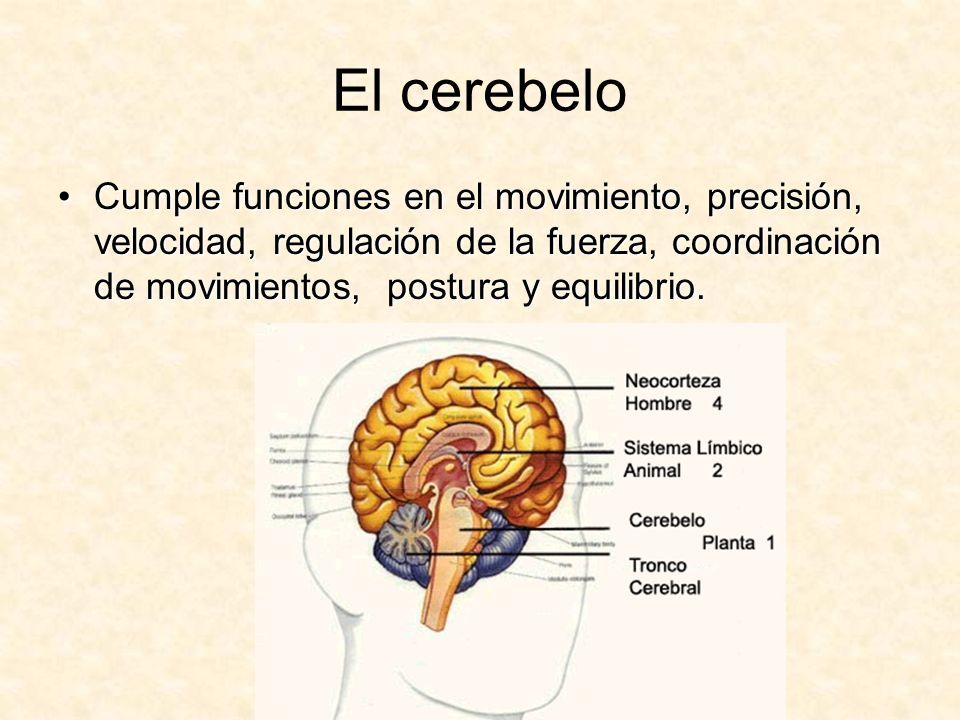 El cerebelo Cumple funciones en el movimiento, precisión, velocidad, regulación de la fuerza, coordinación de movimientos, postura y equilibrio.