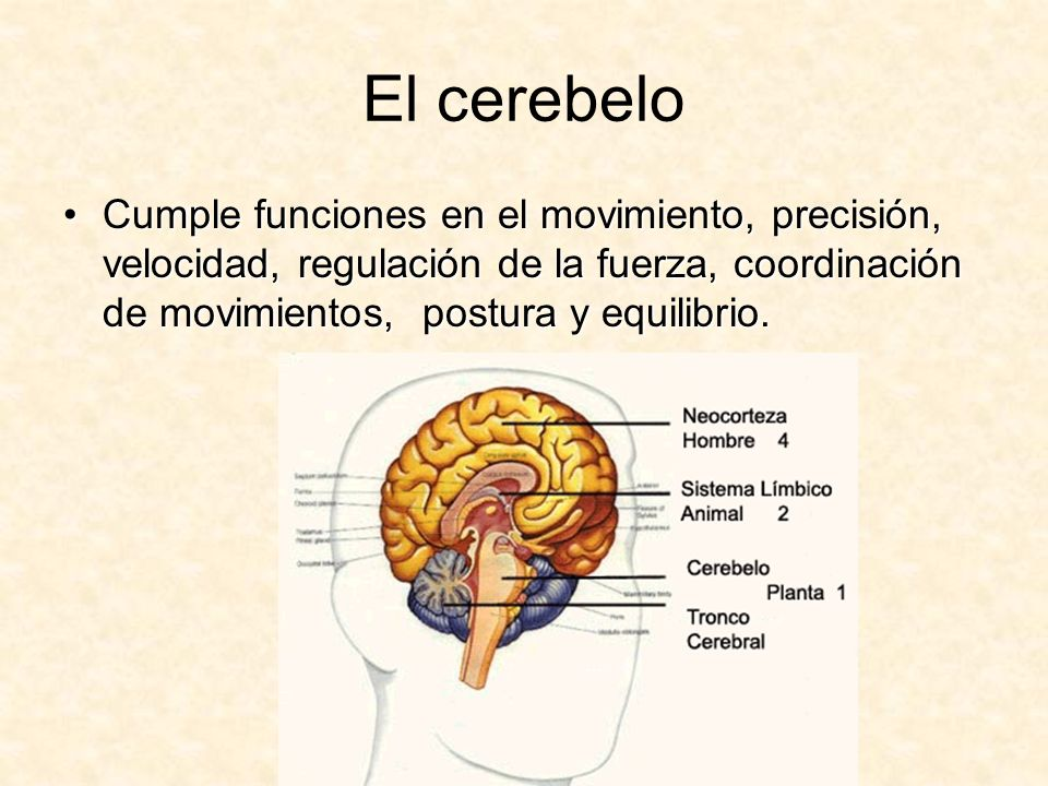 El cerebeloCumple funciones en el movimiento, precisión, velocidad, regulación de la fuerza, coordinación de movimientos, postura y equilibrio.
