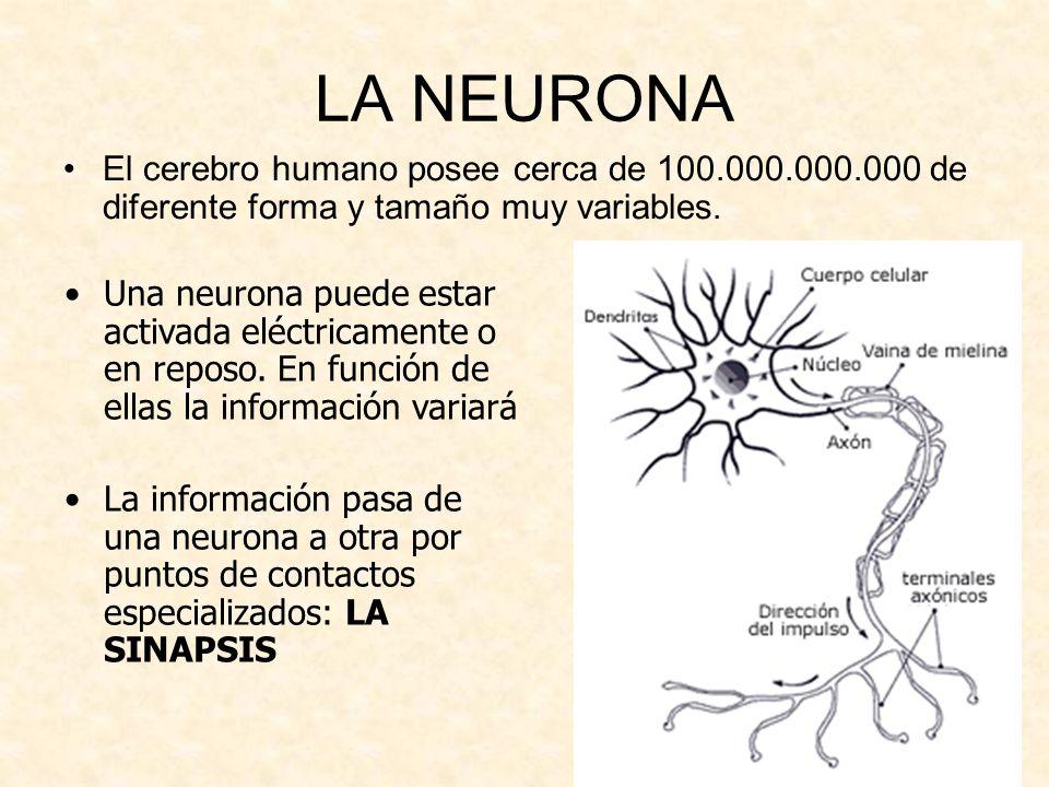 LA NEURONAEl cerebro humano posee cerca de 100.000.000.000 de diferente forma y tamaño muy variables.