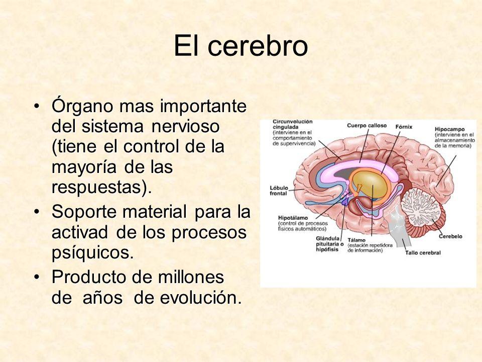El cerebroÓrgano mas importante del sistema nervioso (tiene el control de la mayoría de las respuestas).