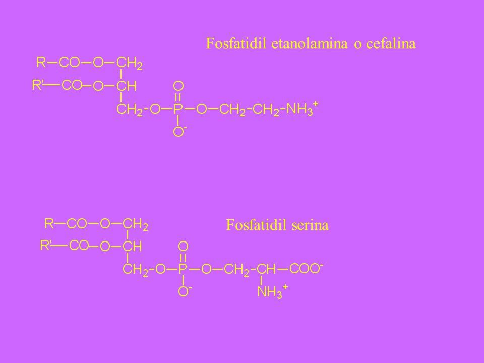 Fosfatidil etanolamina o cefalina