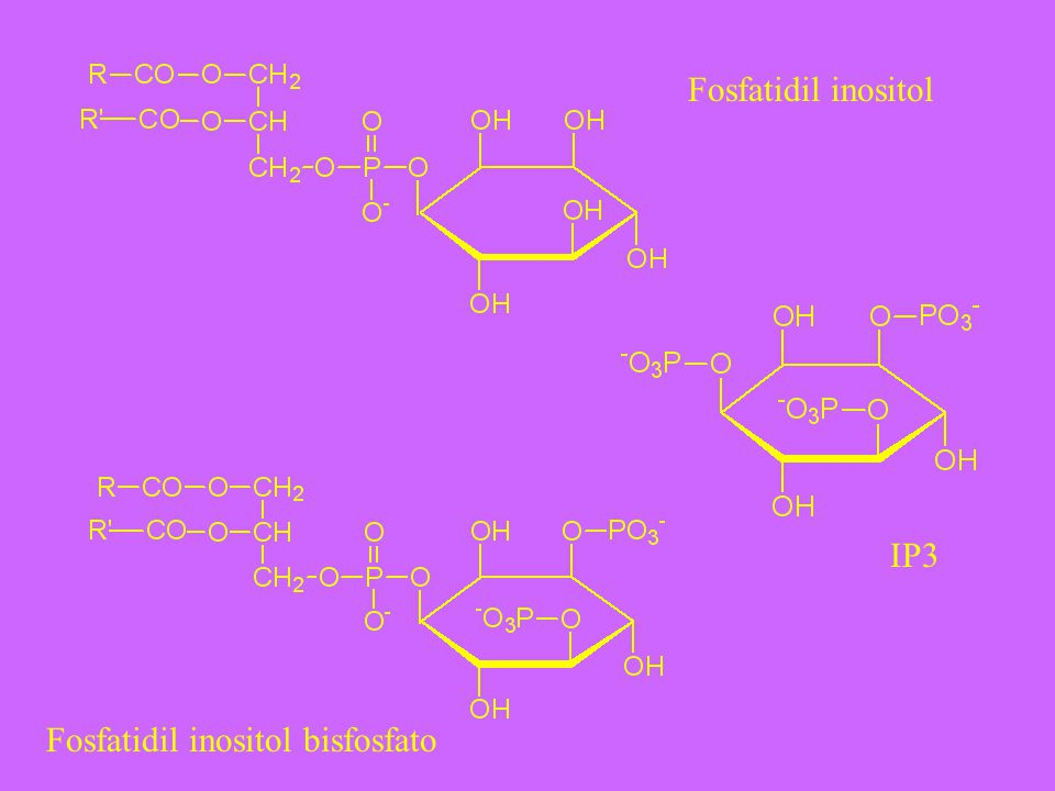 Fosfatidil inositol IP3 Fosfatidil inositol bisfosfato