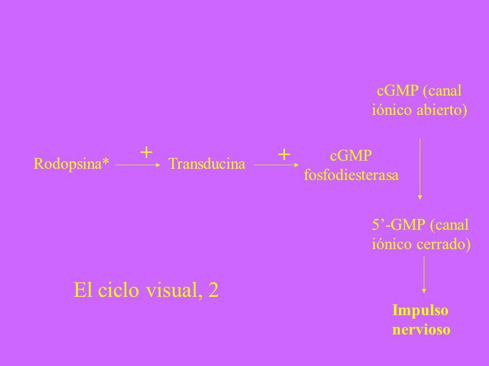+ + El ciclo visual, 2 cGMP (canal iónico abierto) cGMP