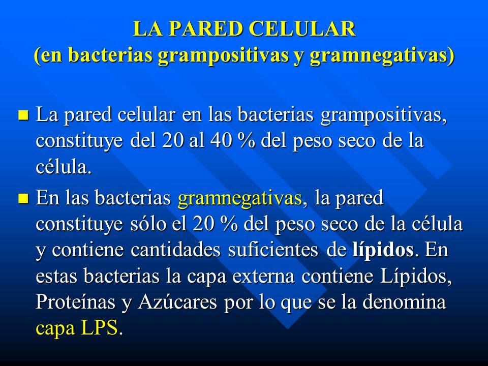 LA PARED CELULAR (en bacterias grampositivas y gramnegativas)