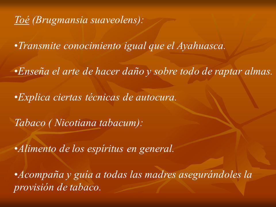 Toé (Brugmansia suaveolens):