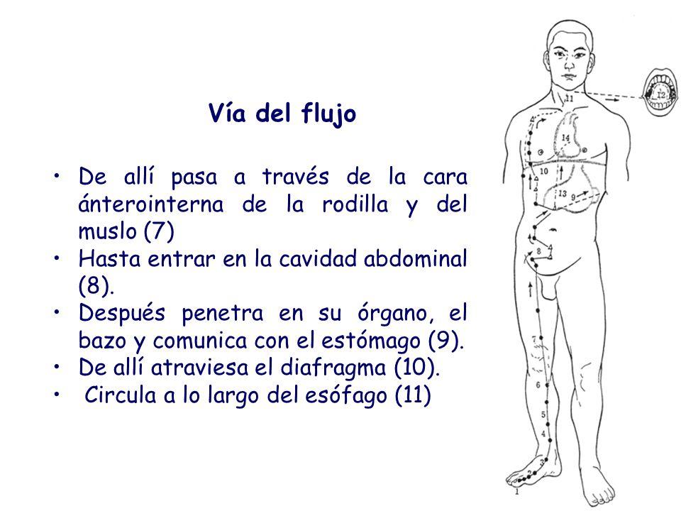 Vía del flujo De allí pasa a través de la cara ánterointerna de la rodilla y del muslo (7) Hasta entrar en la cavidad abdominal (8).