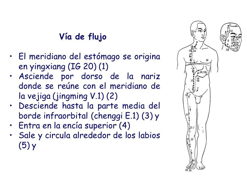 Vía de flujo El meridiano del estómago se origina en yingxiang (IG 20) (1)