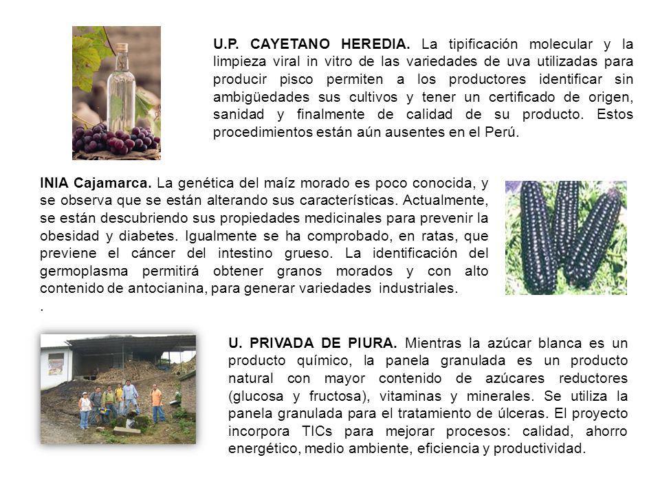 U.P. CAYETANO HEREDIA. La tipificación molecular y la limpieza viral in vitro de las variedades de uva utilizadas para producir pisco permiten a los productores identificar sin ambigüedades sus cultivos y tener un certificado de origen, sanidad y finalmente de calidad de su producto. Estos procedimientos están aún ausentes en el Perú.