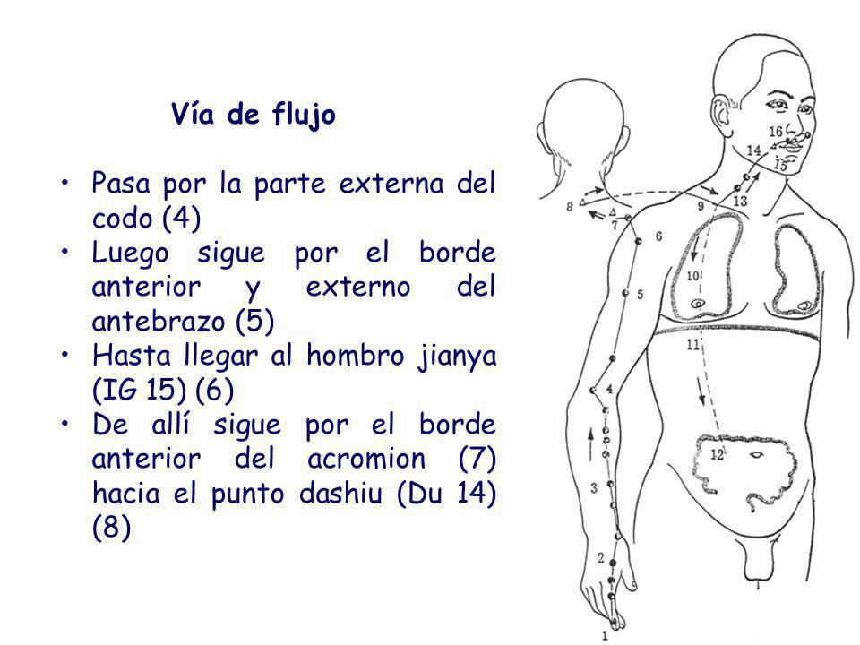 Vía de flujo Pasa por la parte externa del codo (4) Luego sigue por el borde anterior y externo del antebrazo (5)