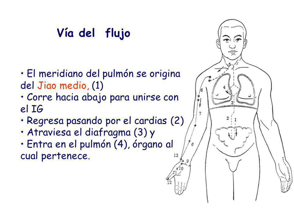Vía del flujo El meridiano del pulmón se origina del Jiao medio, (1)